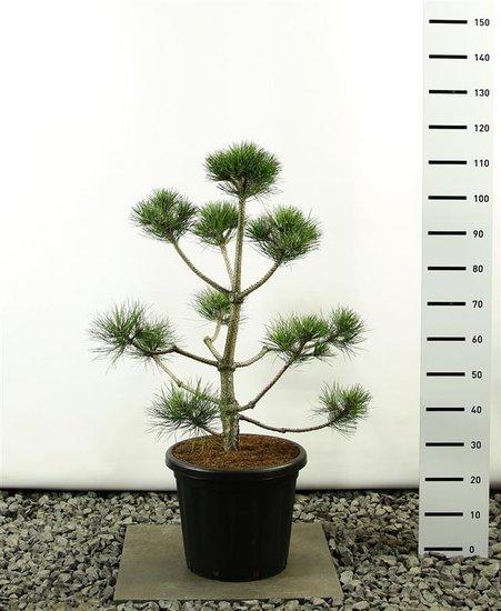 Pinus Nigra var. Nigra multibol 100-125 cm