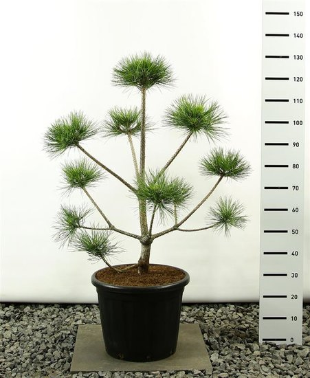 Pinus Nigra var. Nigra multibol 125-150 cm