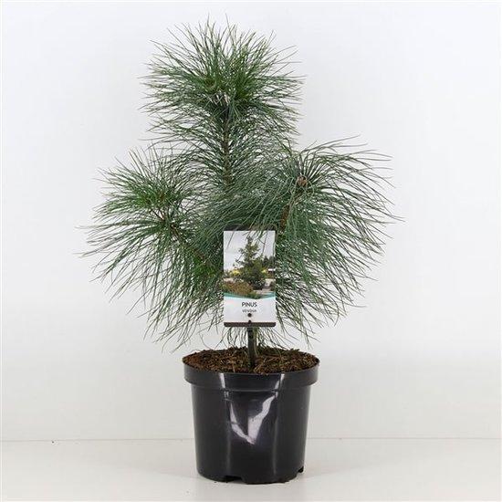 Pinus strobus 3 ltr