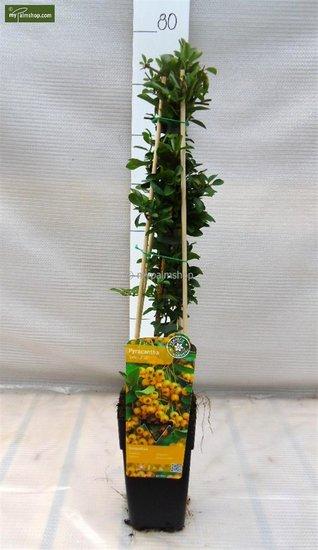Pyracantha 'Soleil d'Or' - 1,5 Ltr pot