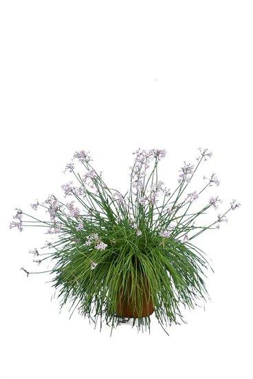 Tulbaghia violacea Ø26 cm pot