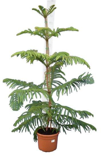 Araucaria heterophylla pot Ø 28 cm