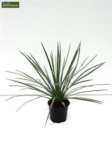 Yucca whipplei pot: Ø 14cm