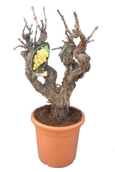 Vitis vinifera pot Ø 37 cm