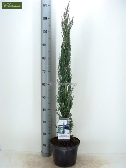 Juniperus scopulorum Blue Arrow pot: Ø23cm