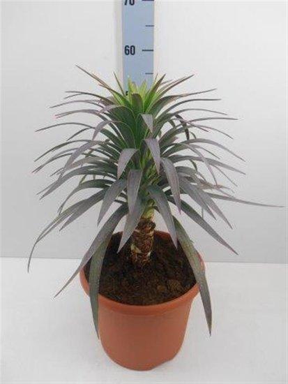Yucca aloifolia Purpurea pot Ø 26cm