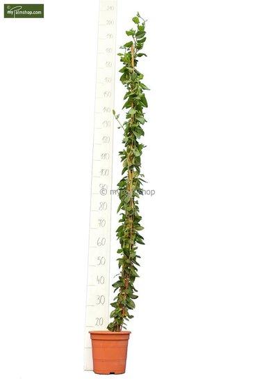 Trachelospermum jasminoides pot Ø 22 cm