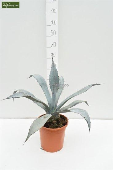 Agave franzosinii Ø 26 cm pot