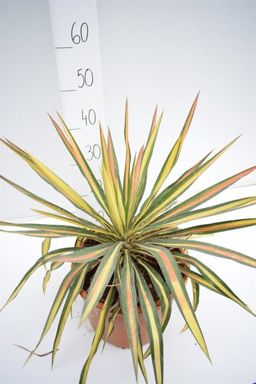 Yucca filamentosa Bright Edge pot Ø 27cm