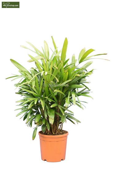 Rhapis excelsa Multitrunk pot Ø 30 cm
