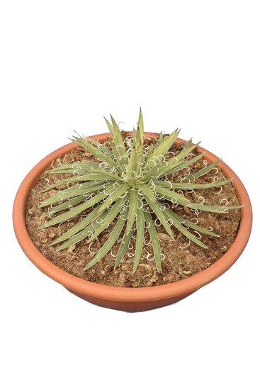 Agave geminiflora pot Ø 28 cm