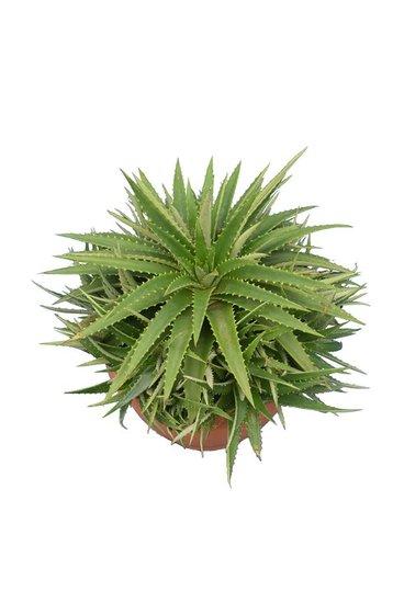 Dyckia brevifolia pot Ø 20 cm