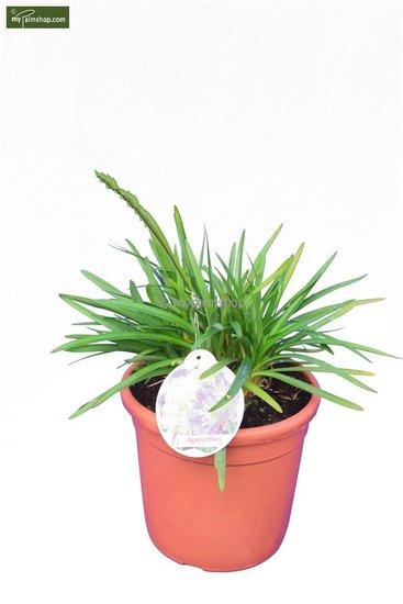 Agapanthus africanus (blue) Ø 24 cm pot