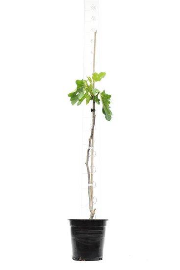 Ficus carica Brown Turkey pot Ø 23 cm total height 90-110 cm