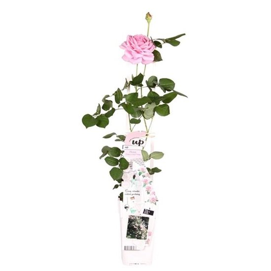Rosa Crazy in Love climbers Pink 2 ltr