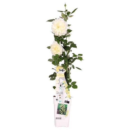 Rosa Crazy in Love climbers Vanilla 2 ltr