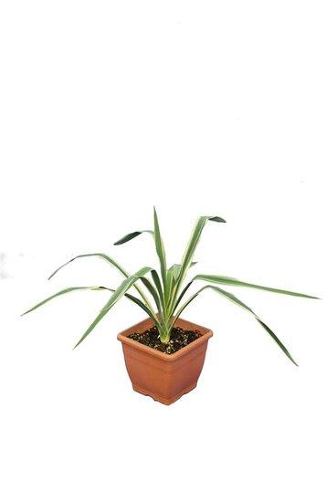 Yucca filamentosa Bright Edge P14