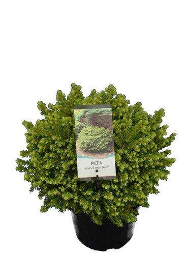 Picea abies Little Gem 3 ltr
