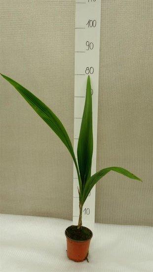 Syagrus romanzoffiana sp. Santa Catarina pot Ø 14 cm