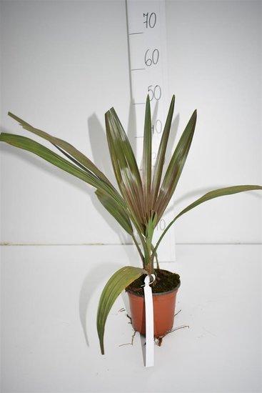 Livistona Mariae pot Ø 13 cm