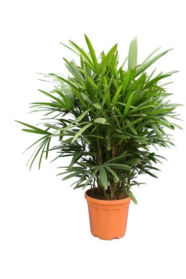 Rhapis excelsa multitrunk pot Ø 38 cm