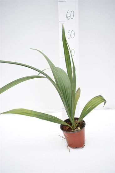 Sabal domingensis pot Ø 14 cm
