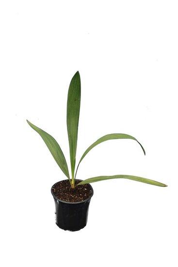 Trithrinax brasiliensis pot Ø 13 cm