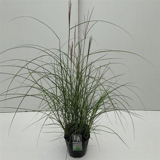 Miscanthus sinensis Kleine Silberspinne 10 ltr