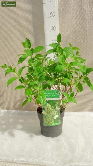 Hydrangea arborescens Prime White