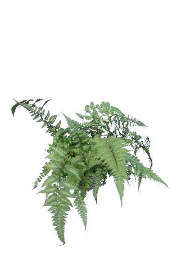 Athyrium niponicum Metallicum pot 0,7 ltr