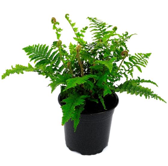 Dryopteris affinis 'Crispa' pot 0.7 ltr