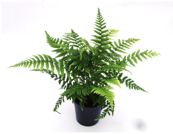 Dryopteris wallichiana pot 0.7 ltr