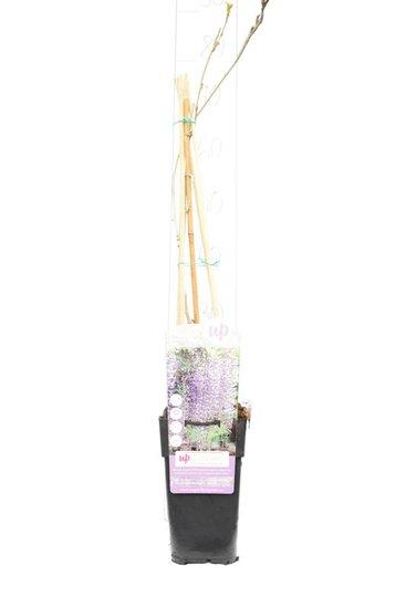 Wisteria floribunda Naga Noda 2 ltr