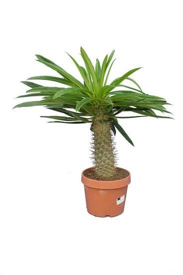 Pachypodium rutenbergianum pot Ø 20 cm