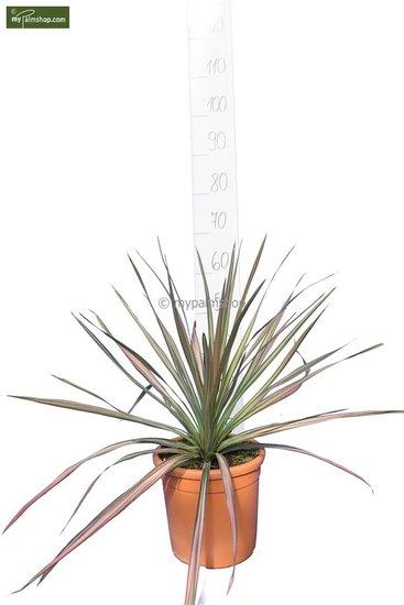 Cordyline australis Kiwi Dazzler Ø25 cm pot
