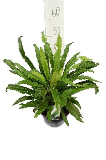 Asplenium scolopendrium Angustifolia 5ltr.