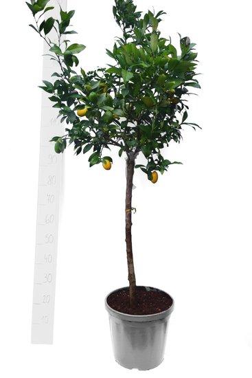 Citrus 'Limequat' pot Ø 35 cm
