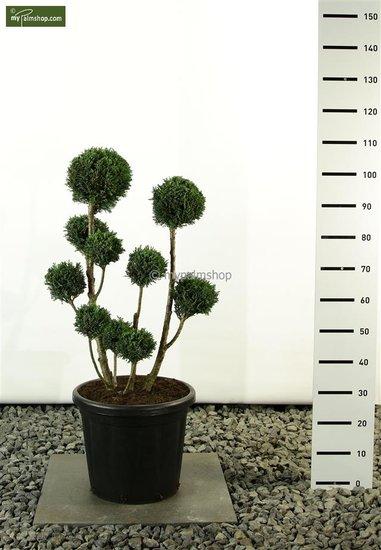 Chamaecyparis lawsoniana Elwoodii Multibol total height: 80-100cm
