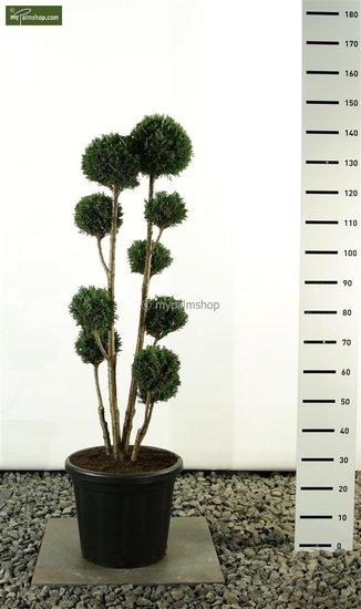 Chamaecyparis lawsoniana Elwoodii Multibol total height: 100- 125cm