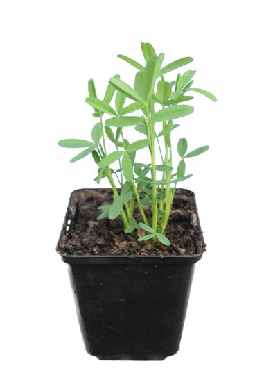 Trifolium rubens Album pot P9