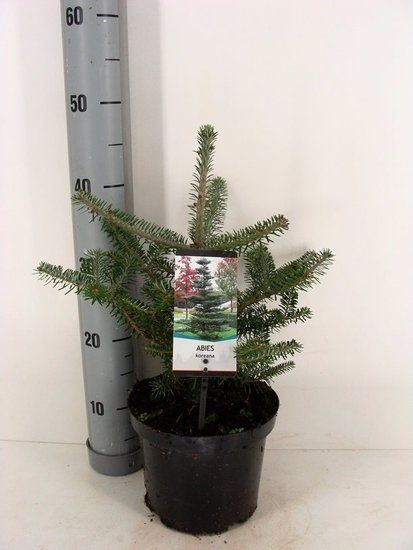 Abies koreana pot Ø 19cm - 3 ltr