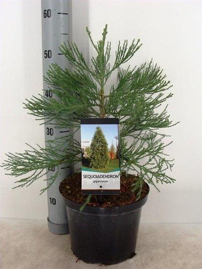 Sequoiadendron giganteum 5 Ltr pot