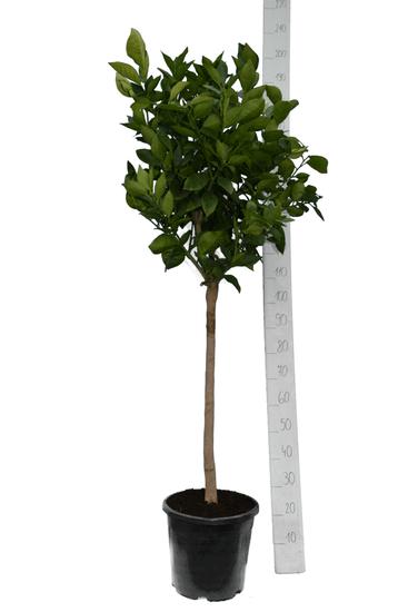 Citrus sinensis pot Ø 35 cm