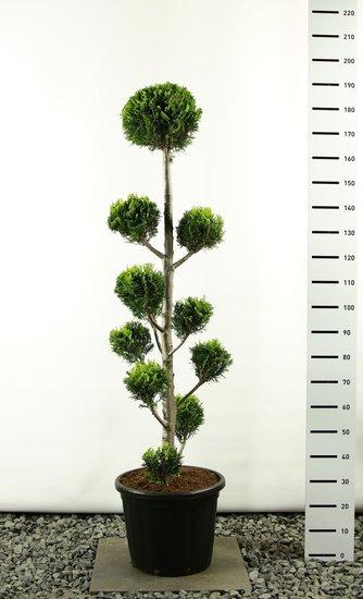Chamaecyparis lawsoniana Ivonne Multibol extra - total height 150-170 cm
