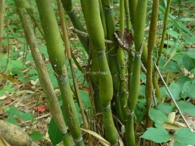 Pseudosasa japonica 5 Ltr pot