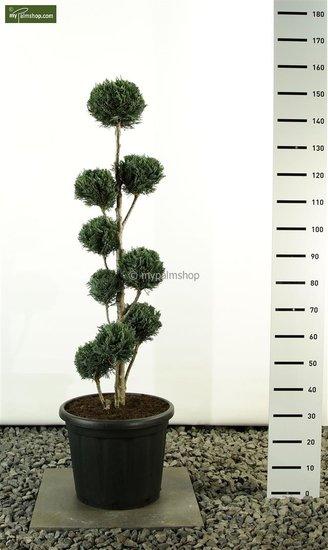 Chamaecyparis lawsoniana Columnaris Multibol - total height 125-150cm