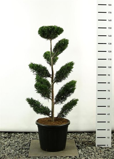 Cupressocyparis leylandii multiplateau 125-150 cm