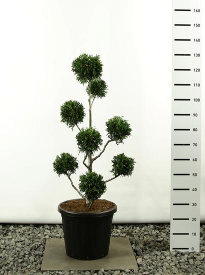 Thuja plicata Martin Multibol - total height 100-125 cm