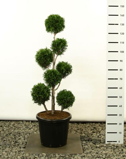 Thuja plicata Martin Multibol - total height 125-150 cm