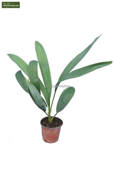 Sabal yapa pot Ø 13 cm